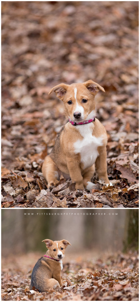 puppy-photos-pittsburgh-professional-dog-pictures-photographer-pittsburgh-pet-photographer-robinson-pa-settlers-cabin-park1
