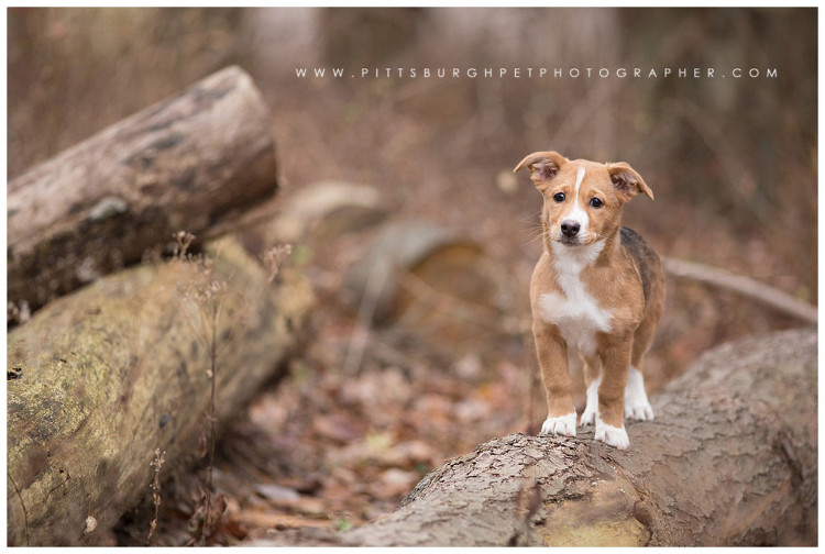 puppy-photos-pittsburgh-professional-dog-pictures-photographer-pittsburgh-pet-photographer-robinson-pa-settlers-cabin-park2