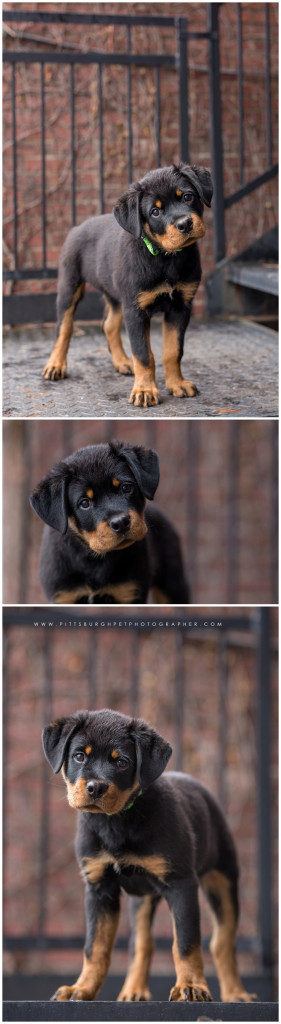 Rottweiler Puppy - Pittsburgh Dog Photographer - Best Pittsburgh Dog Photography - Pgh pet photographer pittsburgh pet photography3