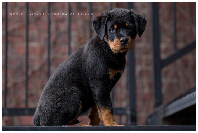 Rottweiler Puppy - Pittsburgh Dog Photographer - Best Pittsburgh Dog Photography - Pgh pet photographer pittsburgh pet photography4