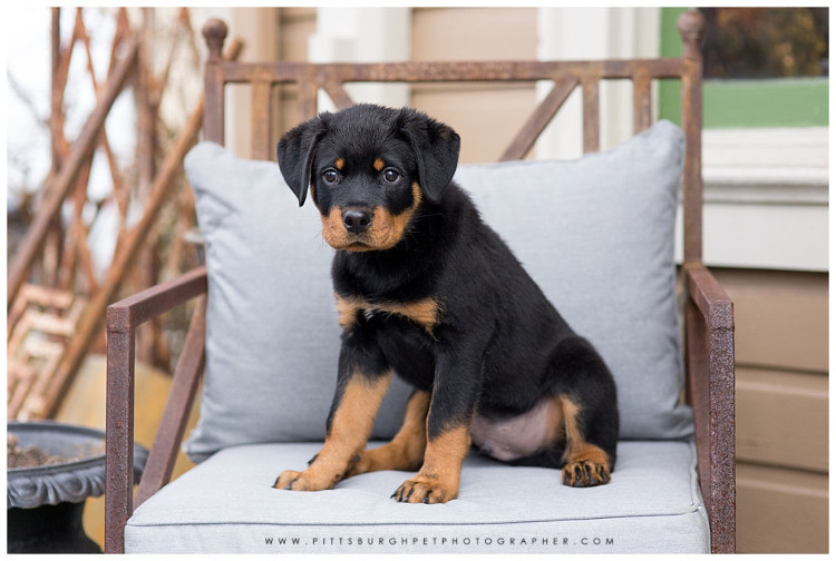 Rottweiler Puppy - Pittsburgh Dog Photographer - Best Pittsburgh Dog Photography - Pgh pet photographer pittsburgh pet photography5